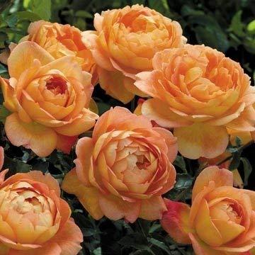 David Austin English Roses Lady of Shallot by David Austin English Roses (Image #2)