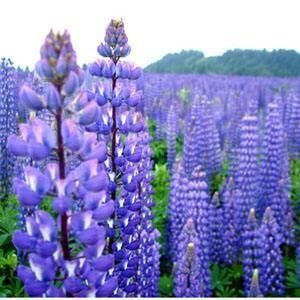 Amazon.com: Outsidepride Lupine Perennial Wildflower - 500 ...