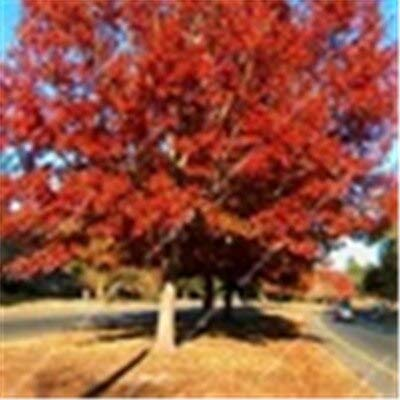 10 Pcs American Red Oak Tree Bonsai Alba Acorns for DIY Home Garden Beautiful Grove Easy to Growing