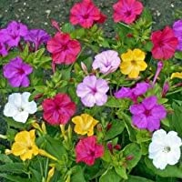 David's Garden Seeds Flower Four O'Clock Mixed Colors RSL711 (Multi) 100 Open Pollinated Seeds