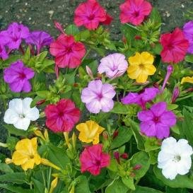 4 Oclock Flowers - David's Garden Seeds Flower Four O'Clock Mixed Colors SL711 (Multi) 100 Open Pollinated Seeds
