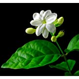 "Hirt's Arabian Tea Jasmine Plant - Maid of Orleans - 4"" pot"