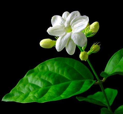 Hirt's Arabian Tea Jasmine Plant - Maid of Orleans - 4