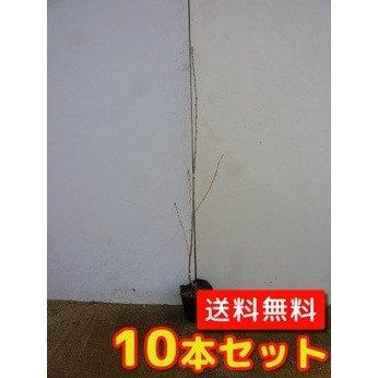 【ノーブランド品】ヤマザクラ樹高1.0m前後12cmポット【10本セット】 B00W4VUA9E