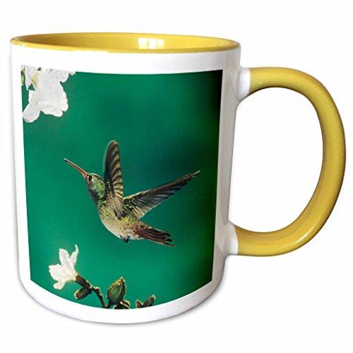 3dRose Danita Delimont - Birds - Buff-bellied Hummingbird Mexican Olive Tree Texas - NA02 RNU0365 - Rolf Nussbaumer - 11oz Two-Tone Yellow Mug (Texas Olive Tree)