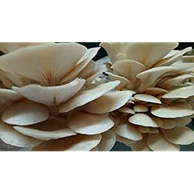 100 Pearl Oyster Mushroom Spawn Plugs to Grow Gourmet and Medicinal Mushrooms at Home or commercially. : Garden & Outdoor