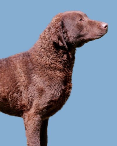 Chesapeake Bay Retriever: Artified Pets Journal/Notebook/Diary, 8