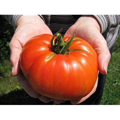 Grandiosy Goliath Hybrid Tomato SEEDSBULK 100 Count PKT 1 POUNDERS Bright RED : Garden & Outdoor
