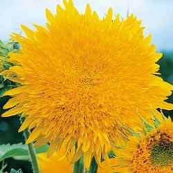 Outsidepride Sunflower Giant - 500 Seeds