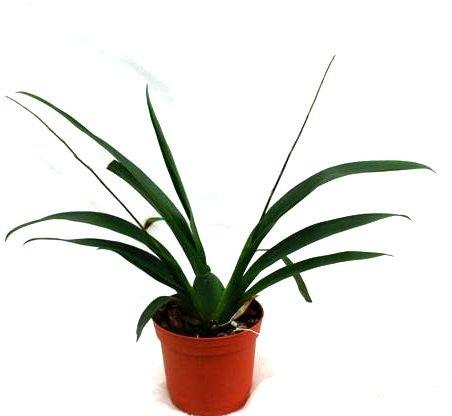 1 blühfähige Orchidee der Sorte: Oncidium Misaki 'Only You', 10cm Topf