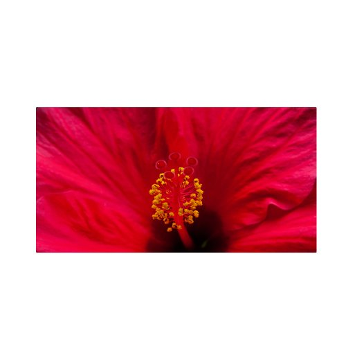 "picture of Trademark Fine Art ""Red Red Hibiscus"" Artwork by Kurt Shaffer, 10 by 19-Inch"