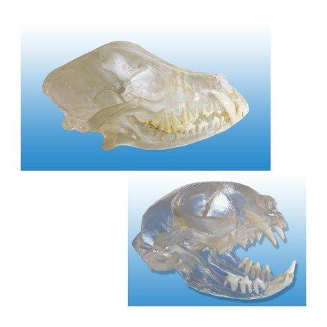 [해외]개 및 고양이 클리어 Visi 해골 스타터 2 세트 / Canine and Feline Clear Visi-Model Skull Starter Set of 2
