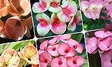 Euphorbia Milii Thailand Hybrid Mix Varities