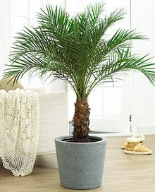 Pygmy Date Palm 20 Seeds - Phoenix roebelenii