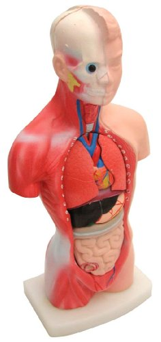 "Hard-Plastic, Full-Color Human Male Torso, 10-1/2"" tall, with 15 Pieces, Including Torso."