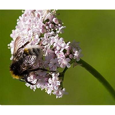 Valerian 600+ Seeds Perennial Herb Sedative Catnip Container Fragrant Medicinal : Garden & Outdoor