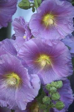 Halo Lavender Hollyhock Certified Alcea rosea 25 Seeds #68 Item UPC#650348691561
