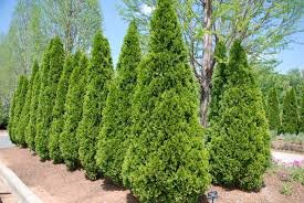 3 Emerald Green Arborvitae in 2.5 inch pots (one plant pe...