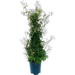 GELSOMINO, JASMINUM POLYANTHUM altezza 90cm, pianta vera 41I1pfElBpL. SS300