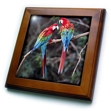 3dRose Danita Delimont - Birds - Brazil, Jardim, Sinkhole of The Macaws. Pair of red-and-Green Macaws - 8x8 Framed Tile (ft_314080_1) (Green Framed Macaws)