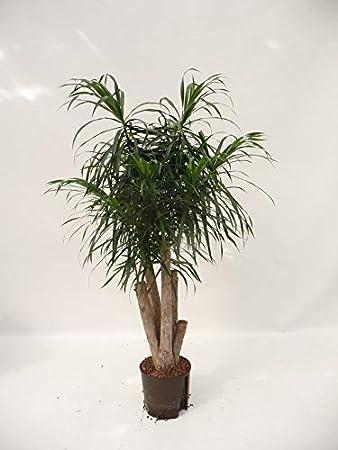 Drachenbaum Anita 110 140 Cm Schöne Zimmerpalme In Hydrokultur Für