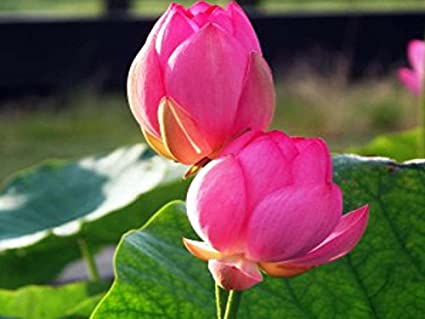 Variety house beautiful water lotus flower plant seeds amazon variety house beautiful water lotus flower plant seeds mightylinksfo