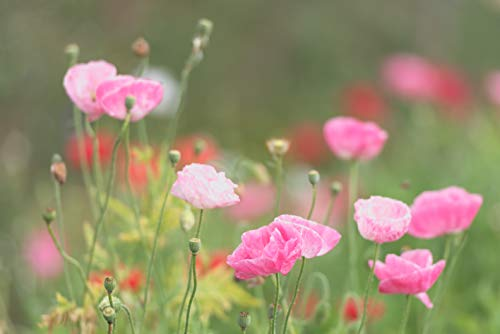 Sweet Yards Seed Co. Shirley Poppy Seeds - Mixed Colors - Extra Large Packet - Over 200,000 Open Pollinated Non-GMO Wildflower Seeds - Papaver rhoeas