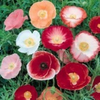 Corn Poppy (Papaver Rhoeas) Shirley Mix ranging in colors from White to Pale Llilac, Pink and Red, Dates back to 1880's English Gardens, Diverse Colors and Forms, Easy to Grow Approx. 100 Seeds