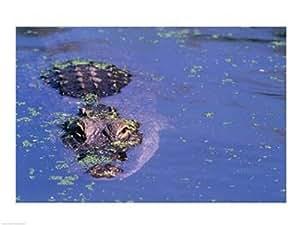Vista de ángulo alto de una piscina cocodrilo americano en un estanque Artistica di Stampa (60,96 x 45,72 cm)