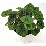 CAPPL Beautiful Peperomia Caperata Green Color Plant (Pot Included) with Fertilizer & Plate Free