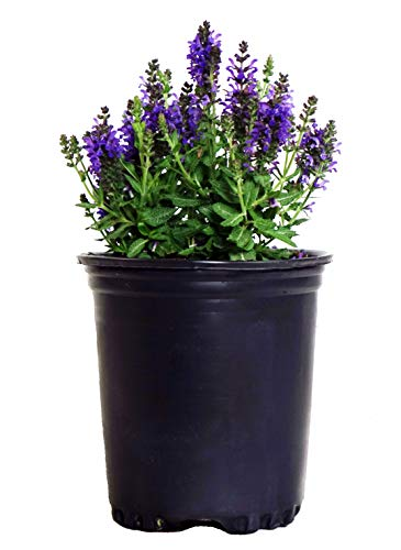 Salvia nemerosa 'Marcus' (Meadow Sage) Perennial, purple flowers, 1 - Size Container