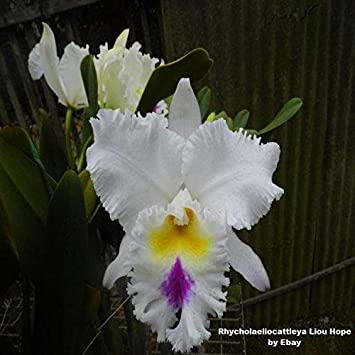 Amazon.com: BIN Rhyncholaeliocattleya Liou Hope 3 1/4 Pot ...