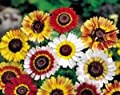 250 TRICOLOR PAINTED DAISY (Pyrenthrum Daisy) Chrysanthemum Carinatum Flower Seeds