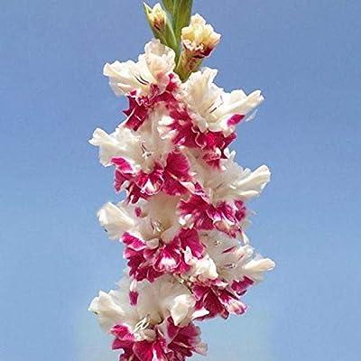 QiBest Home Garden Balcony Ornamental Plants Beauty Foxglove Flower Seeds Flowers: Sports & Outdoors