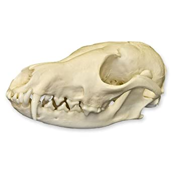 Perfect Real Coyote Skull