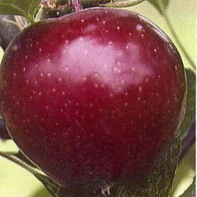 RED ROME APPLE TREE - self pollinating 10 seeds (Apple Green Trees)