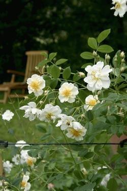 'Lykkefund', Ramblerrose im Rosen-Container 'Lykkefund' Rosen-Union
