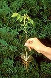 12 Inch Live Plant American Eastern Black Walnut Seedling Tree (Juglans Nigra) Bare Root Dormant Permaculture