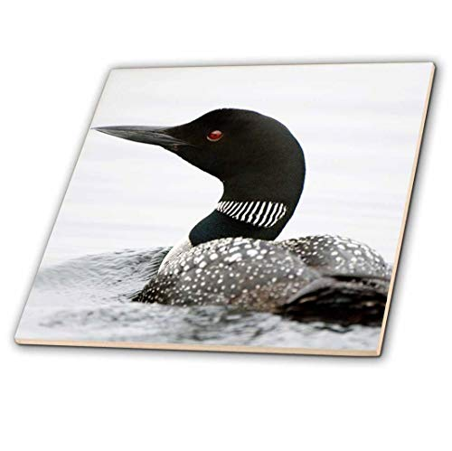 3dRose ct_70594_4 Bird, Common Loon, Gavia Immer, Haliburton, Ontario-Cn08 Pcl0004-Paul Colangelo-Ceramic Tile, 12-Inch