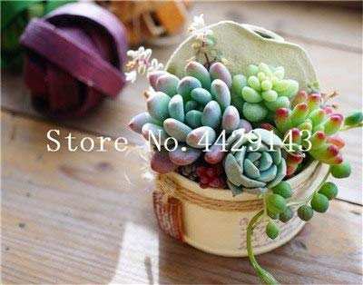 ShopMeeko Semillas: 100 Piezas Mix Eeria Especies suculentas ...