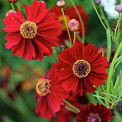 Dwarf Red Coreopsis Plains Flower Seeds, 1500+ Premium Quality Seeds, 90% Germination, Vibrant Bright Red Color! Exotic Beauty!, (Isla's Garden Seeds), Coreopsis Tinctoria : Garden & Outdoor