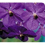 Strap Leaf Vanda Orchid Hawaiian Starter Plant - approx. 4 - 6 Inches tall in 2.5 Inch container - No Bloom #F1