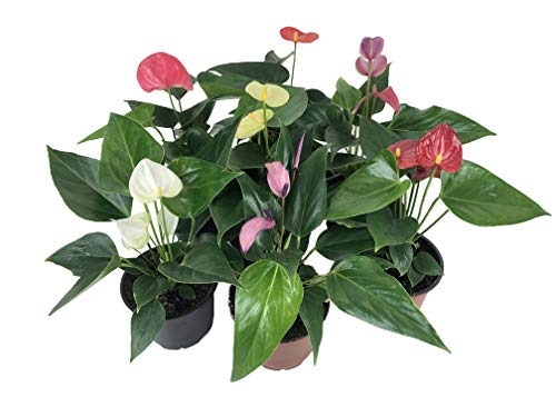 best flowers to grow indoors -Anthurium