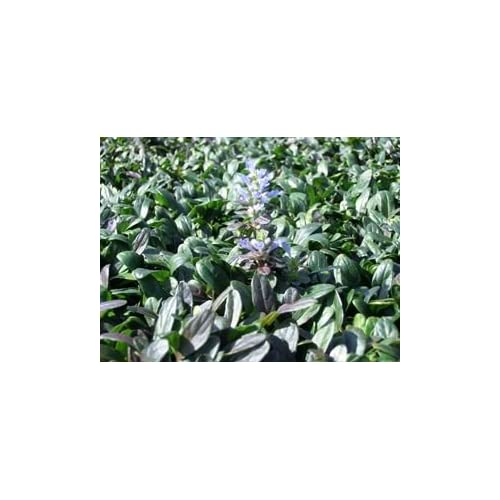 New (18 Count Flat of 3.5) 'Chocolate Chip Ajuga, (Carpet Bugle, Bugleweed) Blue Flowers Above Dense Foliage of Small, Elongated, Overlapping Leaves of Green and Chocolate, Fast Growing and Spreading for cheap