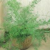 30+ Asparagus Fern Flower Seeds