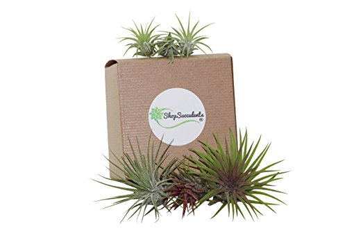 Shop Succulents Ionantha Air Plant (Collection of 6)