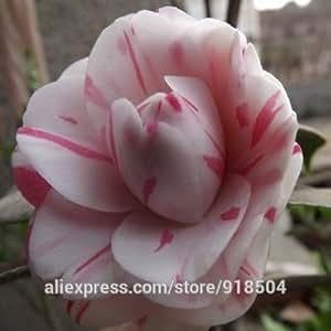 50 piezas / bolsa, Frutos de la camelia, camelia flores semillas 24kinds de colores para la opción de envío gratis
