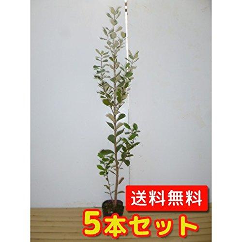 【ノーブランド品】フェイジョア樹高0.8m前後18cmポット【5本セット】 B00W4VY1AI