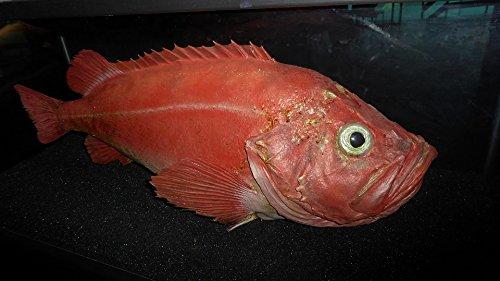 Home Comforts Framed Art for Your Wall Atlantic Fired ålesund Redfish 10x13 Frame (Framed Redfish)
