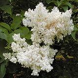 JAPANESE LILAC SYRINGA RETICULATA fragant 75 seeds